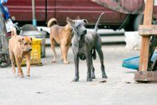 どうしてタイでは野良犬が多いの?