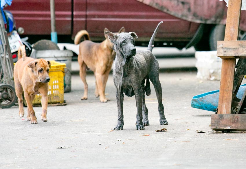 「どうしてタイでは野良犬が多いの?」
