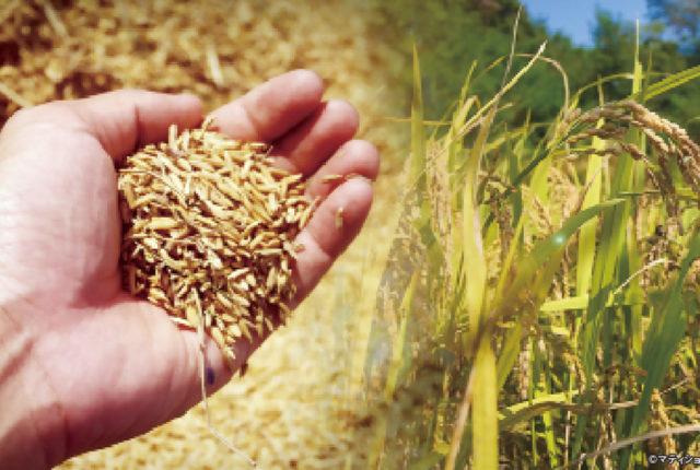 タイ米の不作が深刻だ。タイ米輸出業者協会によると、今年は干ばつにより米の生産量が前年比4〜5割減となる見通し。例年だと約850万〜950万tは生産されるが、今年は400万〜450万tにまで落ち込むとみられる。経済損失は約500億バーツに及び、タイ経済が深刻なダメージを被るのは不可避だ。  供給減で籾米(籾殻が付いた米)相場は昨年末時点の1万6,000バーツから、現在2万5,000バーツまで上昇。とはいえ、農家にとってこの上げ幅は不十分だろう。本来、生産量が半減すれば、価格が倍増しなければ収入は落ち込んでしまうからだ。相場高が限定的となった理由は、主な輸出先である中国の在庫が潤沢なことと、バーツ高が影響している。  商務省によると、今年1〜7月の間、米の輸出量は前年同期比21.6%減の490万t。問題は金額ベースで、18.8%減の818億バーツに留まった。同省は、バーツ高により、他の生産地よりもタイ米が1t当たり760バーツ割高になったと説明。加えて、中国の需要減退で単価が伸び悩んだもようだ。  同協会のチャルーン会長は今年の年間予測輸出量を950万tから900万tに、金額を1,550億バーツから1,450億バーツに下方修正した。これは過去4年間で最低の水準。タイ米の輸出競争力低下に危機感を持った同省のジュリン大臣は、中国の他に、イラクやインド、ニュージーランド、フィリピン、日本など新たなマーケットを開拓する方針を示している。  もちろん、タイ米の供給減は国内でも大きな問題となっている。もち米価格は昨年末に1kg20〜25バーツだったが、今年8月には40〜50バーツに高騰。一部の精米所はもち米のさらなる価格上昇を見越し、あえて販売せずに在庫として抱えているようだ。もち米を必要とする飲食店や消費者に不当な不利益を与えるとして、ジュリン氏は精米所の悪質な棚上げ行為に対し、最大10万バーツの罰金または禁錮5年の刑を科すると注意している。  農業に不作はつきもの。生産者も消費者も、今は我慢の時なのかもしれない。