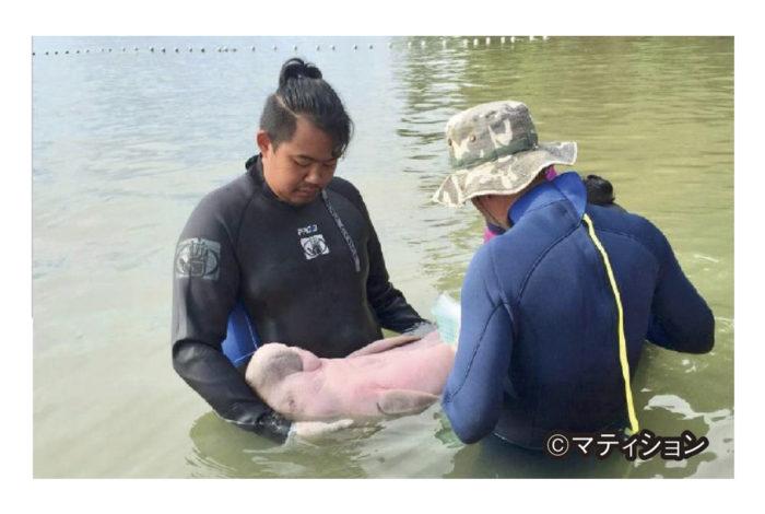 17日、南部トラン県で保護されていたジュゴンの赤ちゃんが死んだ。  海洋・沿岸資源局によると、このジュゴンは生後8か月で、4月にタイ南部クラビー県の海岸で乗り上げていたところを保護され、「マーリアム」と名付けられた。その後、餌を食べる動画などが公開され、国内外で人気者となった。ところが、マーリアムは最近になって健康状態が悪化し、17日未明に死んだ。解剖の結果、海洋プラスチックごみによる腸の炎症から感染症を引き起こしたことが原因と判明。これにより、世界的な問題となっている海洋プラが生態系に与える影響の深刻さについて改めて浮き彫りとなった。  カセートサート大学水産学部のトーン副学部長は、自身のFacebookに「マーリアムの死は、海洋プラで死んだ国際保護動物で2頭目。海洋プラに対する問題意識がさらに高まるだろう」とコメント。国際資源保護連合(IUCN)によると、ジュゴンは危急種として世界的保護動物。タイ南部には、推定約250頭が確認され、多くがトラン県の海域に生息し、2013年には110〜125頭が確認されていた。これまで、同県近辺の住民らはジュゴンの保護活動を展開。最近では少しずつだが頭数が増えているという。マーリアムの亡骸は、今回の教訓を残す意味でプーケット県の水族館で剥製として展示されるそうだ。絶滅させるのも、保護するのも、全ては人の手に委ねられているという矛盾を考える良い機会かもしれない。