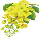 国花 ラーチャプルック 英名:ゴールデン・シャワー 和名:ナンバンサイカチ