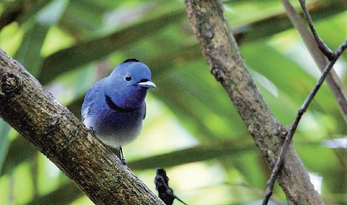 68種目となるクロエリヒタキ。リゾート内にはかわいい鳥がたくさん♪ The Tongsai Bay Ko Samui Thailand ザ・トンサイ・ベイ コ・サムイ・タイランド