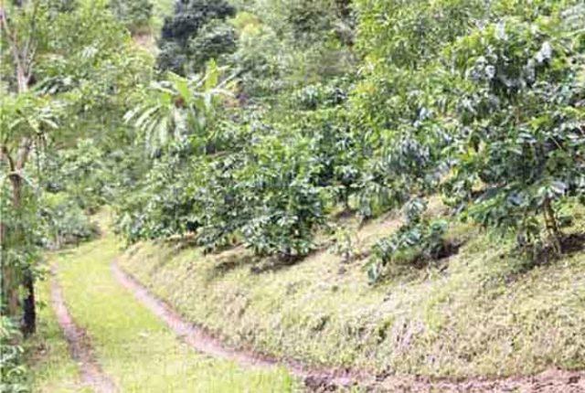 タイのコーヒー豆は大きく分けると、インスタントコーヒーなど大量生産向けに南部で栽培される「ロブスタ種」と、北部の山岳民族らを中心に栽培される「アラビカ種」があります。