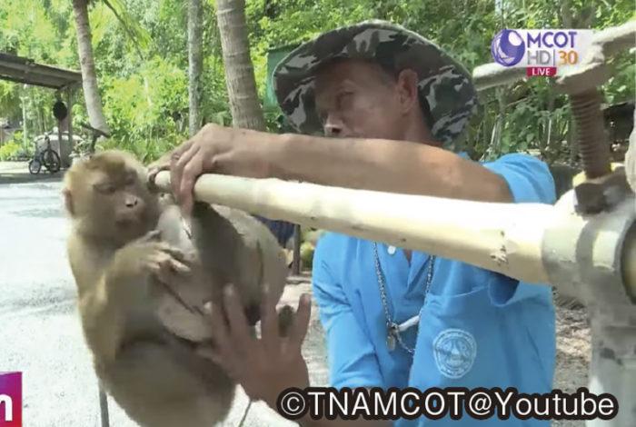 イギリス発の報道番組「BBC」で3︎日、現地の小売店に多数流通するタイ産のココナッツ製品が、サルに労働を強いた上で作られていると問題提起。