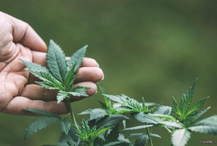 タイで医療目的の大麻(マリファナ)使用が合法化されたのは昨年2月のこと。アジアで稀少な解禁国として注目を集め、今年に入りノンタブリー県に医療大麻専門クリニック、都内プラナコーン工科大学に屋内ファームを開設するなど、関連施設が続々と誕生。