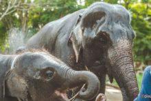毎年8月 日は「世界ゾウの日」。一方、タイでは3月 日を「ゾウの日」とし祝賀イベントを実施