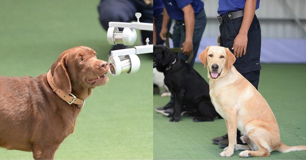 犬を使って、無症状の コロナ感染者を検出 チュラロンコーン大学が、犬による無症状のコロナウイルス感染者を検出する実験に成功。麻薬犬訓練をモデルとしたもので、感染者特有の臭いを感知するという。