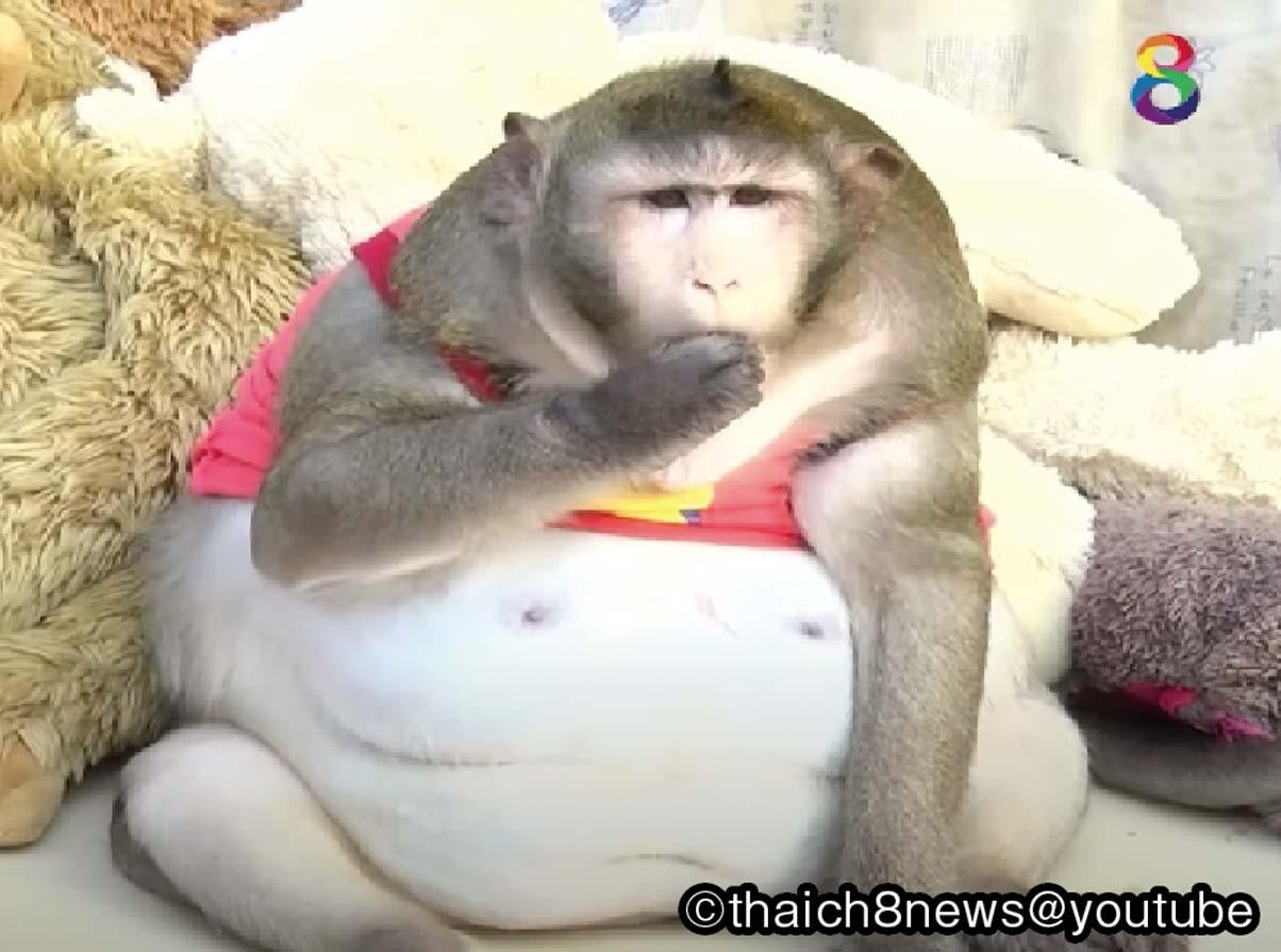 """""""メタボ猿""""を森へ還そう - ワイズデジタル【タイで生活する人のための情報サイト】"""