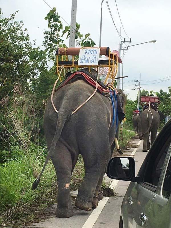 写真はスリン県を目指し500kmもの行程を歩く姿。ゾウには「仕事を失って歩いて帰る」というメッセージも。ゾウの福祉財団により、途中からトラックに乗せて帰ることになったという。