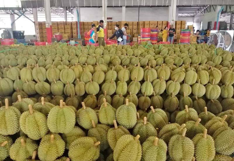 農業研究局によると、今年はドリアンが豊作で中国へも盛んに輸出されている。