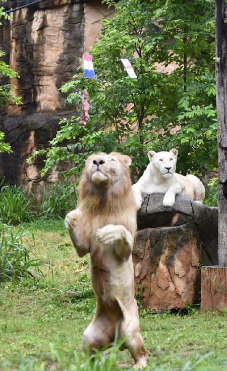 """コンケーン動物園のホワイトライオン「ジャオボーイ」が、11日に開幕した「UEFA EURO 2020」で4試合の結果を""""肉占い""""で当てたと話題に。"""