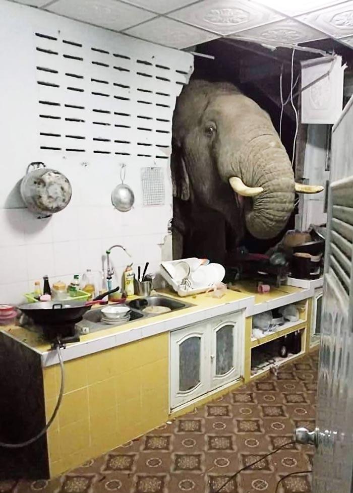 20日夜、西部プラジュワブキリカン県のビーチリゾート、ホワヒンの郊外で、野生のゾウが民家の台所の壁を突き破って頭を突っ込み、食べ物を強奪する騒ぎがあった。