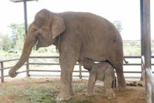 パタヤのトロピカルガーデンで100頭目のゾウが生まれる