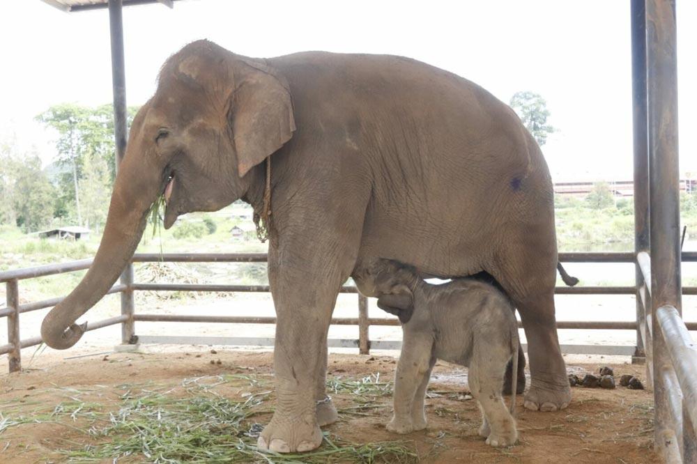 パタヤのトロピカルガーデンで100頭目のゾウが生まれる - ワイズデジタル【タイで生活する人のための情報サイト】