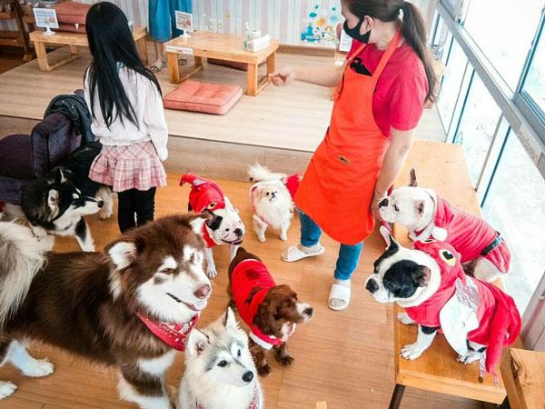 チェンマイ県の人気カフェ「Smile Dog Cafe」では現在、シベリアンハスキーなど店の看板犬28匹の貰い手を探している。希望者は店へ直接連絡し、今月末までに引き取りに出向くことが条件。