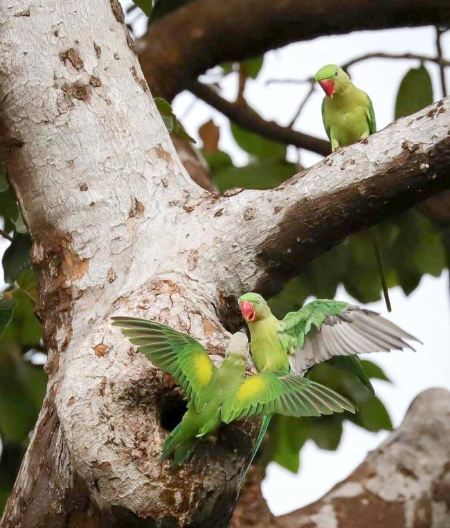 中部ノンタブリー県の寺院にある樹齢200年のフタバガキに生息していたセキセイインコが100羽から30羽に激減。周囲の宅地化が進んだためだという。