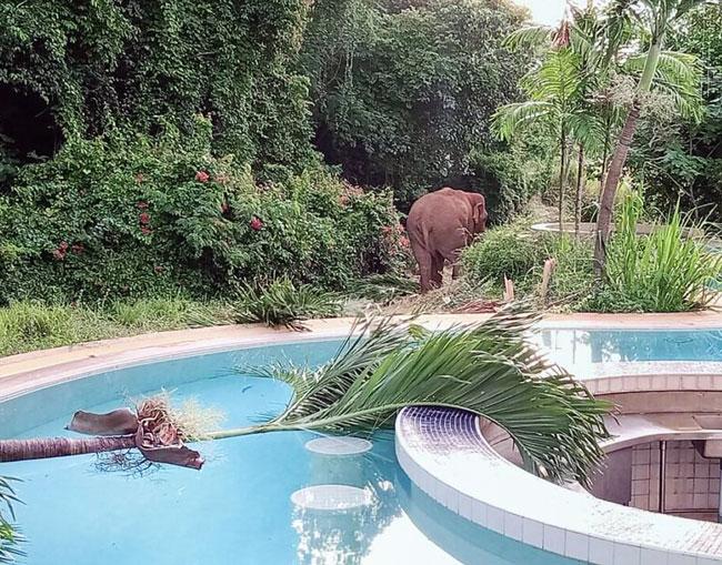 カオヤイでは8月末より、野生のゾウが民家の庭を荒らすなどの被害が発生。ゾウは群れからはぐれ飢えていると推測され、当局では遭遇しても刺激しないよう近隣住民に注意喚起を続けている。