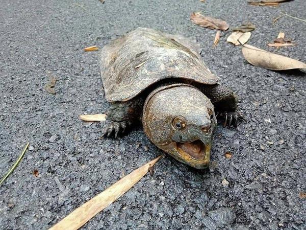 ウィアンコーサイ国立公園で絶滅危惧種であるオオアタマガメが発見された。大きな頭の特徴的な外見を持ち、頭と足を甲羅の中にしまうことはできない。