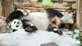 チェンマイ動物園の人気パンダ20歳の誕生日を氷ケーキで祝う - ワイズデジタル【タイで生活する人のための情報サイト】