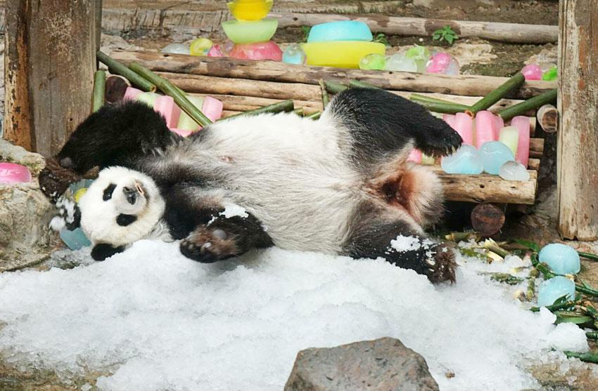 9月28日、中国の親善大使でもある雌のパンダ・リンフイが20歳の誕生日を迎え、中国領事館から「20」をかたどった氷や竹が贈られた。